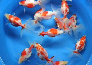Live ryukin pearlscale goldfish md for fish tank koi for Carpe koi aquarium 300 litres