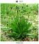 Banane plantain mineur Plantago lanceolata 500 graines seeds