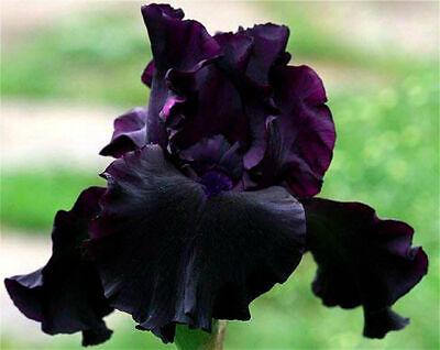 Blue Iris Bulbs Long Blooming Flowers Perennial Garden Pots Graceful Bonsai Yard