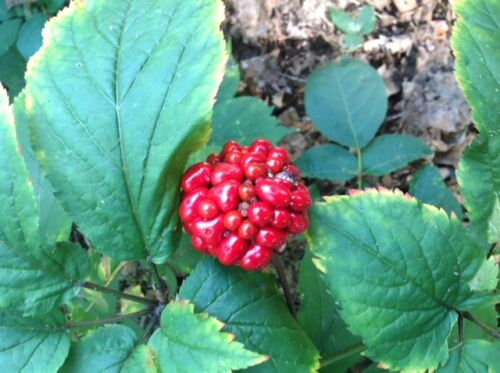 250+AMERICAN GINSENG SEEDS-TREATED-STRATIFIED-2019 PLANTING Now Top QUALITY Seed