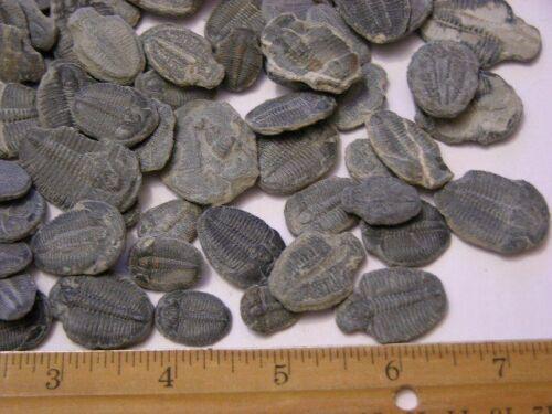 Trilobite Elrathia fossils 2 fossils per winner Utah mid Cambrian 1//4-1 1//2 inch