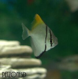 mono argentus monodactylus argenteus viven salobre peces