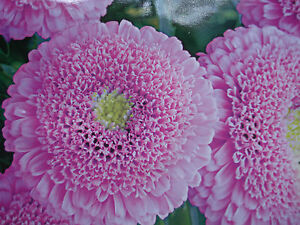 Russian Aster Seeds Unusual Pompom Flowers Pink Colour Ebay