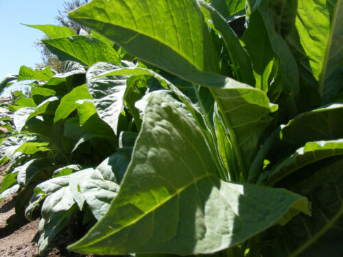 2002 Virginia Gold Tobacco Seed  Fresh 2019 crop