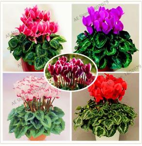 100-Pcs-Graines-Cyclamen-vivace-Fleurs-Bonsai-plantes-livraison-gratuite-2019-RARE-N
