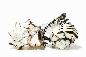 Black-Murex-Phyllonotus-erythrostomu-Hermit-Crab-Sea-Shell-5-034-6-034-2-pcs