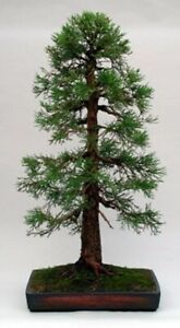 Giant Sequoia Bonsai Starter Kit Ebay