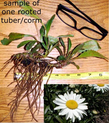 "10 Organic SHASTA DAISY PLANTS White ALASKA Cut Flowers LARGE 3-4/"" Rooted Tubers"