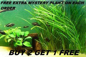 6 Vallisneria Jungle Val  plants Fresh Live Aquarium Plants BUY2GET1FREE