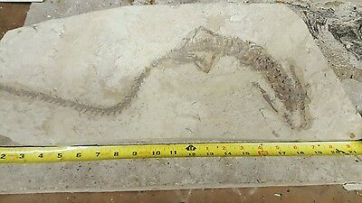 Fossil mesosaurus reptile