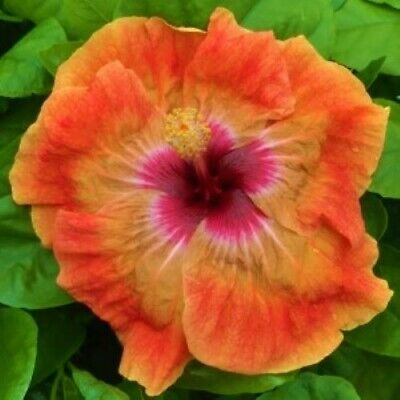 TAHITIAN TAUI Hibiscus plant Rooted Tropical Hibiscus Plant***Ships in Pot***