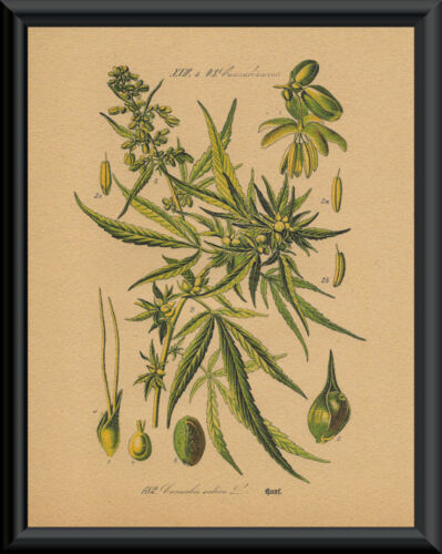 1800s Marijuana Cannabis Engraving Reprint On 100 Year Old Paper *P118