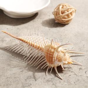 10-12cm-MUREX-Shell-Conque-Coral-Sea-Escargot-Aquarium-Ornament-Coquillages
