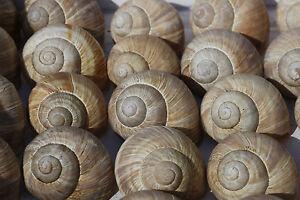 5 Weinberg Escargots Vide-instrumentale Besoins-escargot Coquille Hobby-deco-ken Leer - Floristikbedarf - Schnecke Schneckenhaus Hobby - Deko Fr-fr Afficher Le Titre D'origine