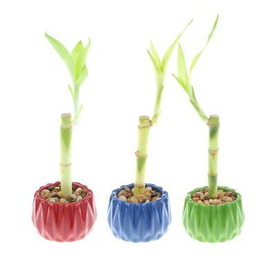 Lucky Bamboo Party Pack Set Of 3 Lucky Bamboo Plants With Accented