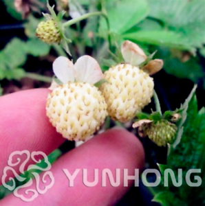 500-PCS-Seeds-Pineberry-Bonsai-Garden-Fruits-And-Vegetable-White-Berries-2020-D