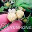 500-PCS-Seeds-Pineberry-Bonsai-Garden-Fruits-And-Vegetable-White-Berries-2020-D thumbnail 1