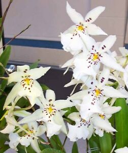 Rare-orchid-hybrid-seedling-plant-Oncidium-Winter-Wonderland
