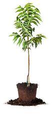 Elliot Pecan Tree, Live Plant, Size: 5 Gallon