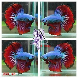 [233_A3]Live Betta Fish High Quality Male Fancy Over Halfmoon 📸Video Included📸