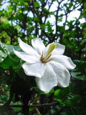 Compact habit Cape Jasmine 10 graines-Parfumée Evergreen