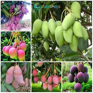 Mango-Bonsai-Delicious-Seeds-Plants-Fruit-Mangifera-Indica-Perennial-1pcs