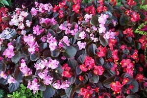 Begonia-Cocktail-Mix-Seeds-Flowers-All-Summer-Long-Bedding-Begonia