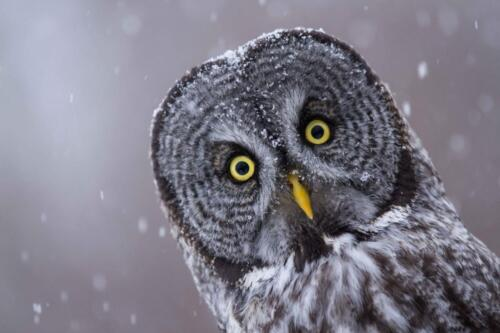 GREAT GRAY OWL GLOSSY POSTER PICTURE PHOTO PRINT spectral lapland spruce 4730