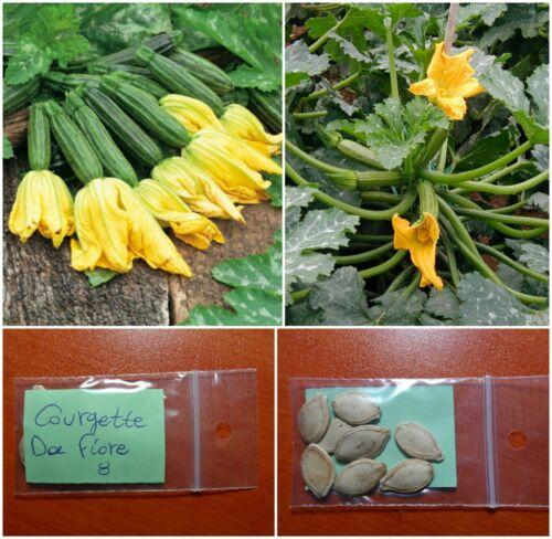 "Courgette-Zucchini /""DA Fiore/"" ~ 8 top qualité Graines-Extra productif-Bush"