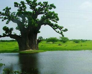 Baobab-Tree-ADANSONIA-DIGITATA-4-Seeds-Exotic-Tree