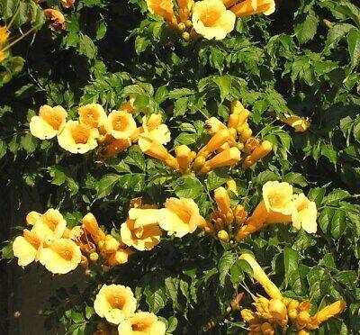 Yellow Trumpet Vines - Hummingbird favorite ! Flava Campsis radicans Seeds 100 Seeds