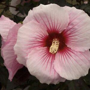 Hardy Hibiscus Seeds Summer Storm Winter Hardy Perennial Shrub