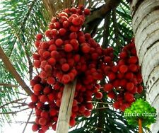 *UNCLE CHAN* 20 SEED WODYETIA BIFURCATA FOXTAIL PALM FRESH READY SOW  VIABLE
