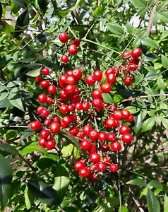 Heavenly Bamboo   Nandina domestica   10 Seeds   (Free US Shipping)
