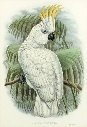 John Gould Native cockatoo white print yellow painting Vintage Old Australia