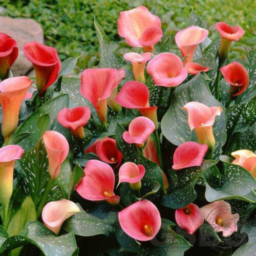 Colorful 2xRare Calla Lily Bulbs Perennial Gardening Summer Flower Bulb Roots