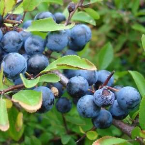 Prunus Spinosa - 30 Graines-blackthorn/prunelle Berry Fruit-afficher Le Titre D'origine 19w0xojf-10041516-269857317