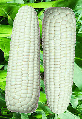 Corn Seed 10 Seeds White Waxy Corn Zea Mays Maize Vegetable Garden Seeds B024