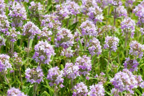 Schneckenresistente Pflanze Thymian; besitzt sehr viele ätherische Duftstoffe.