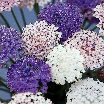50+Didiscus Lacey Flower Seeds Mix / Blue White Pink / Fragrant Self-Seeding Ann