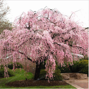 20pscpink Fountain Weeping Cherry Tree Seeds Garden Yard Dwarf