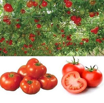 FD606 Home Garden Seeds Sweet Huge Tree Tomato Fruit Vegetable Seeds ~20PCs~
