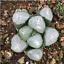 Haworthia Vientiane cactus Succulent plants potted Plants Home Garden Bonsai