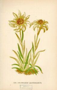 Lithographie-Edelweiss-Original-1896-Bild-Motiv-Flora-Alpen-Gartenpflanzen