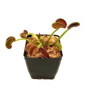 Venus-Flytrap-039-Dente-039-Dionaea-muscipula-Live-Carnivorous-Plant-With-3-034-Pot