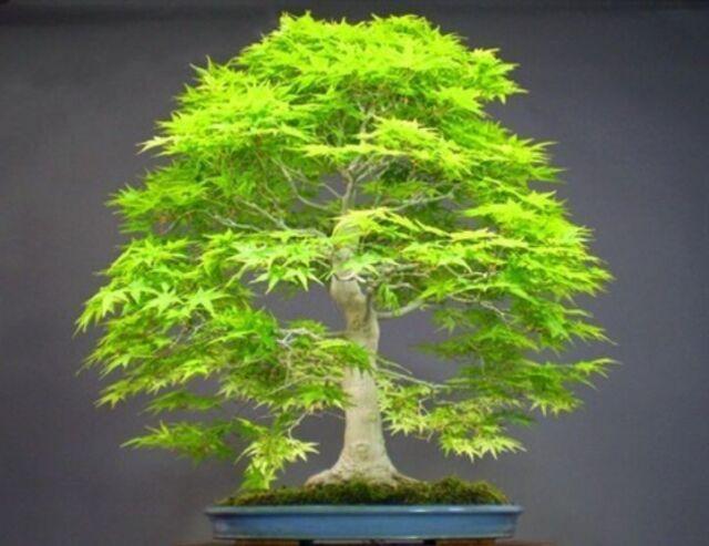 Seifu Seeds Bonsai Dawn Redwood Bonsai Metasequoia Glyptostroboides 50pcs Seeds For Sale Online