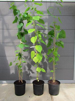 Morus alba - Weißer Maulbeerbaum -Winterharte Pflanze 150-170cm - lecker Früchte