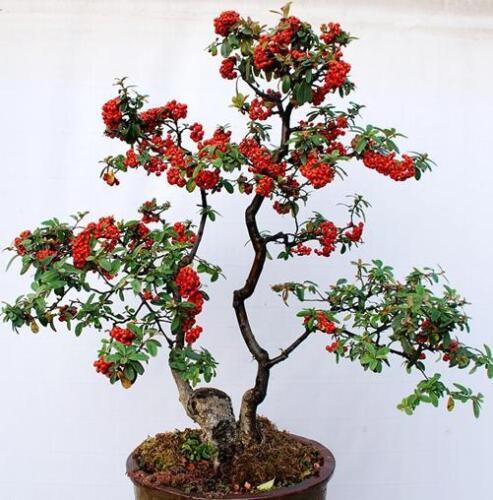"Scarlet Firethorn /""pyracantha coccinea/"" 30 seeds Bonsai"