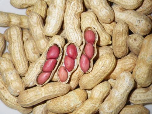 1 OZ Tennessee Red Valencia Heirloom Peanut Seeds ~40 Peanuts ~Open-Pollinated