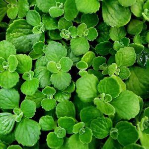 Vicks-Plant-Medicinal-Live-Plant